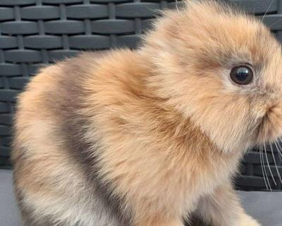 Bunny goes viral after being born without ears